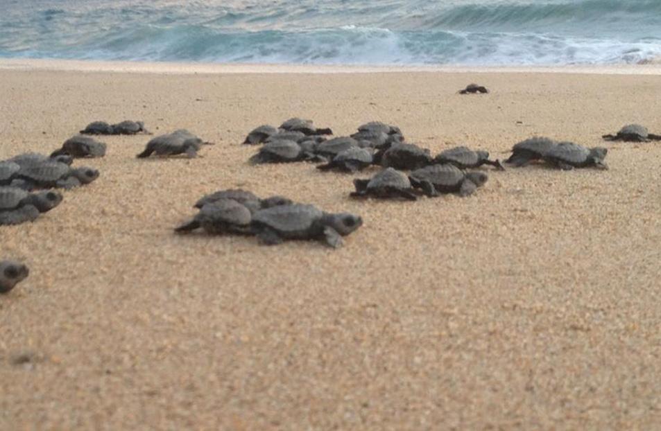 turtle release, turtle release baja, turtle conservation, la alianza